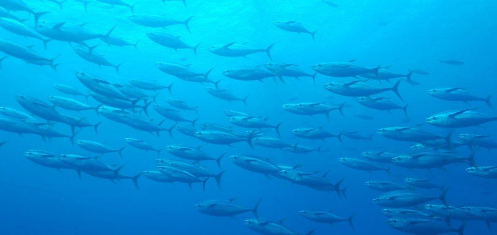 Tuna shoal