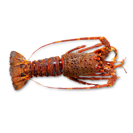 Raw whole Rock lobster by Sapmer